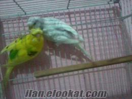 sultanbeylide satılık kuşlar iri ve vasıflı kuşlar artı herşey