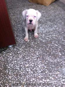 boxer yavrularımız beyaz mavi gözlü
