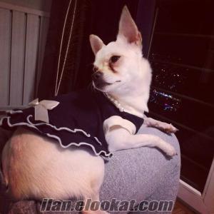 2 Yaşında Dişi Safkan Chihuahua