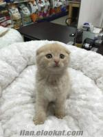 scottish fold yavrular