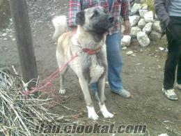 malatyada sahibinden saf kangal davarci köpek yasi bir bucuk