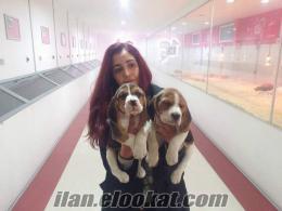 beagle yavruları bursak9 güvencesiyle