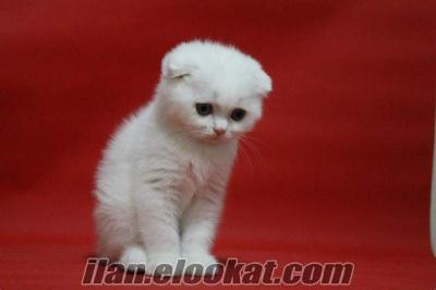 SATILIK SÜPER KALİTE SCOTTISH FOLD WHİTE COLOUR KEDİ YAVRULARI