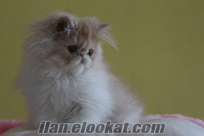 satılık iran persian cream white colour yavruları petonyada