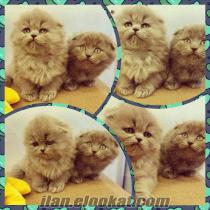 SATILIK LONG HAİR SCOTTISH FOLD YAVRULAR