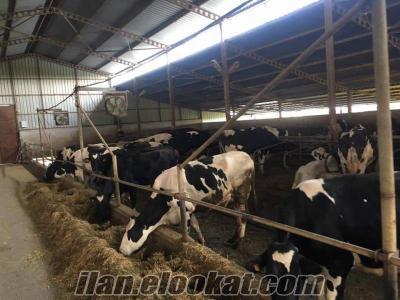 süslü inek değil sütlü inek satıyoruz