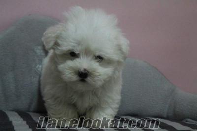 satılık süper kalite orjinal teacup maltese terrier yavru
