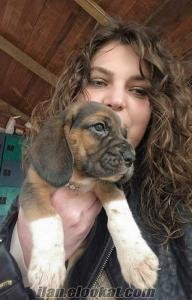 BEAGLE harika aile köpeği YAVRULARRRRI