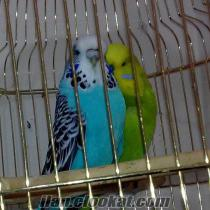 Erzurumda Jumbo muhabbet kuşu