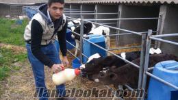 kaliteli hollanda amarikan cinsi süt inekleri satılıktır