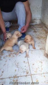 izmirde safkan maltese terrier-golden-rotweiler-american cocker bebekler