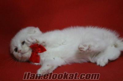 SATILIK SCOTTISH FOLD WHİTE COLOUR KEDİ YAVRULARI PETONYA PETSHOPTA