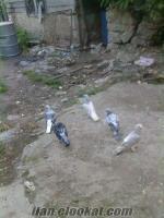Kocaelide sahibinden satılık güvercinler