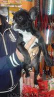 yorkshire terrier yavrularımız çok uygun fiyatta