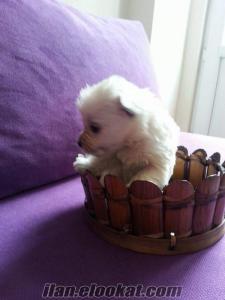 Terrier satılık bebekler