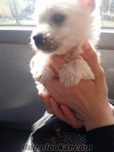 west highland white terrier satılık yavruları