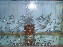 yavru yunus sarı mavi ciklet satılır