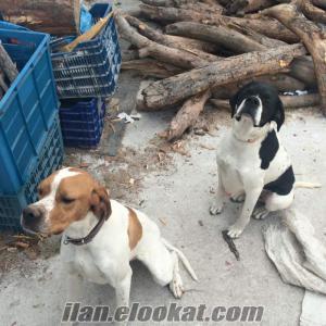 pointer av köpeği yavruları pointererkek