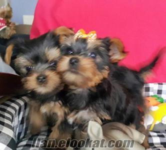 yorkshire terrier minytür harikaaa yavrular
