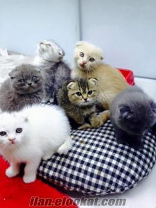 ankara pet shop tan scottish fold yavrularımız sadece 1.000