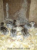 Keklik yavrusu-keklik palazları