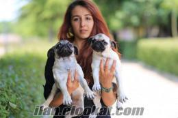 Satılık Pug (Mops) Yavruları