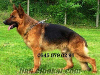 Alman Çoban Köpeği yavrularımız
