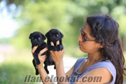 Satılık Siyah Pug (Mops) Yavruları