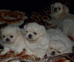 safkan beyaz pekinez yavrulari