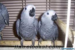muhabbet kuşu-sultanpapağanı