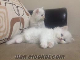 manisada satılık beyaz iran kedisi