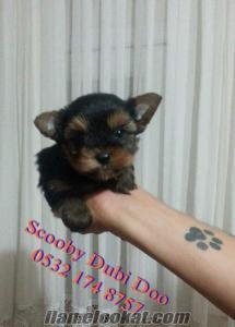 satılık yorkshire terrier köpeği