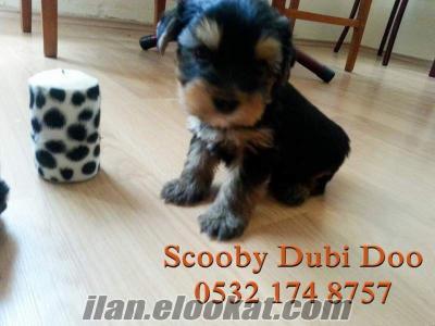 teacup yorkshire terrier satılık yavrular