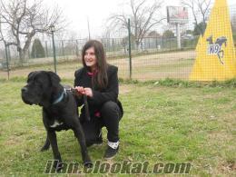 satılık eğitimli köpekler CANE CORSO