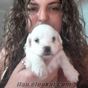 maltes terrier sevimli kar beyaz yavrularr
