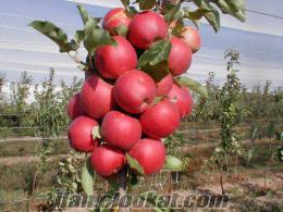 Tokatta satılık elma