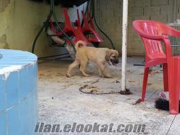 adanadan 2 aylık erkek bozkır aslanı