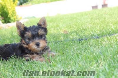 teacup yorkshıer terrier yavruları -----------