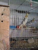 Konya Aziziye sultan papaganı