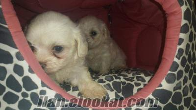 maltese terrier haRİKAAAA yavrularrr