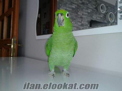 İstanbul amazon papağanı