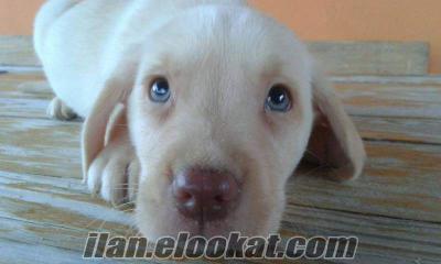 LABRADOR RETRIEVER YAVRULARIMIZ DOG ACADEMY