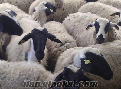 Krediye uygun Gebe SAKIZ Koyun ve Sakız Koçlar Acil Satılık ;