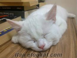 Satılık 4 Aylık Beyaz VAN-İRAN kedisi yavrusu