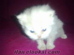 safkan iran chinchilla yavruları 26.04.2011 doğumlu miniklerimm