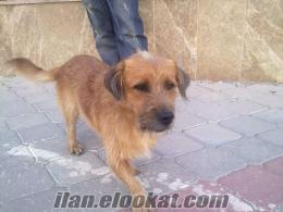 erkek satılık fino köpeği