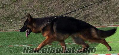 Secereli Satılık Alman Çoban Köpeği