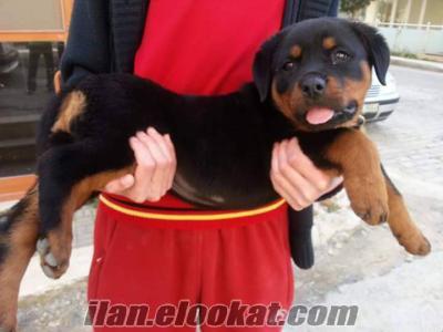 52 Günlük Macar Rottweiler Yavru