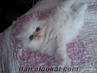 izmir yavru mavi gözlü beyaz dişi erkek iran persian redpoint bluepoint kedi