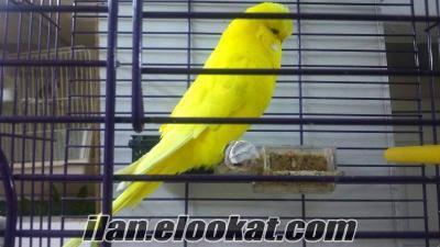 Güneşli muhabbet kuşu